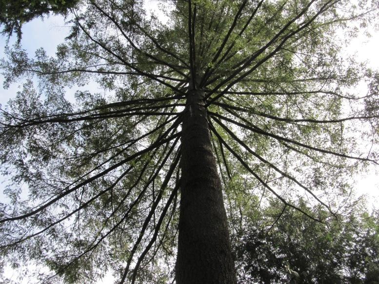 BC Large Tree